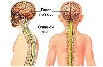 Спинной мозг Анатомия ЦНС Оболочка и кровоснабжение спинного  Спинной мозг Медицинские рефераты